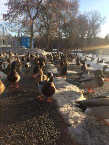 Ducks at Polson